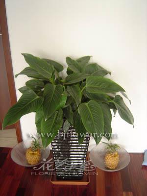 金钻,叶片形状饱满,色泽碧绿,是很受欢迎的室内观叶植物.-北京